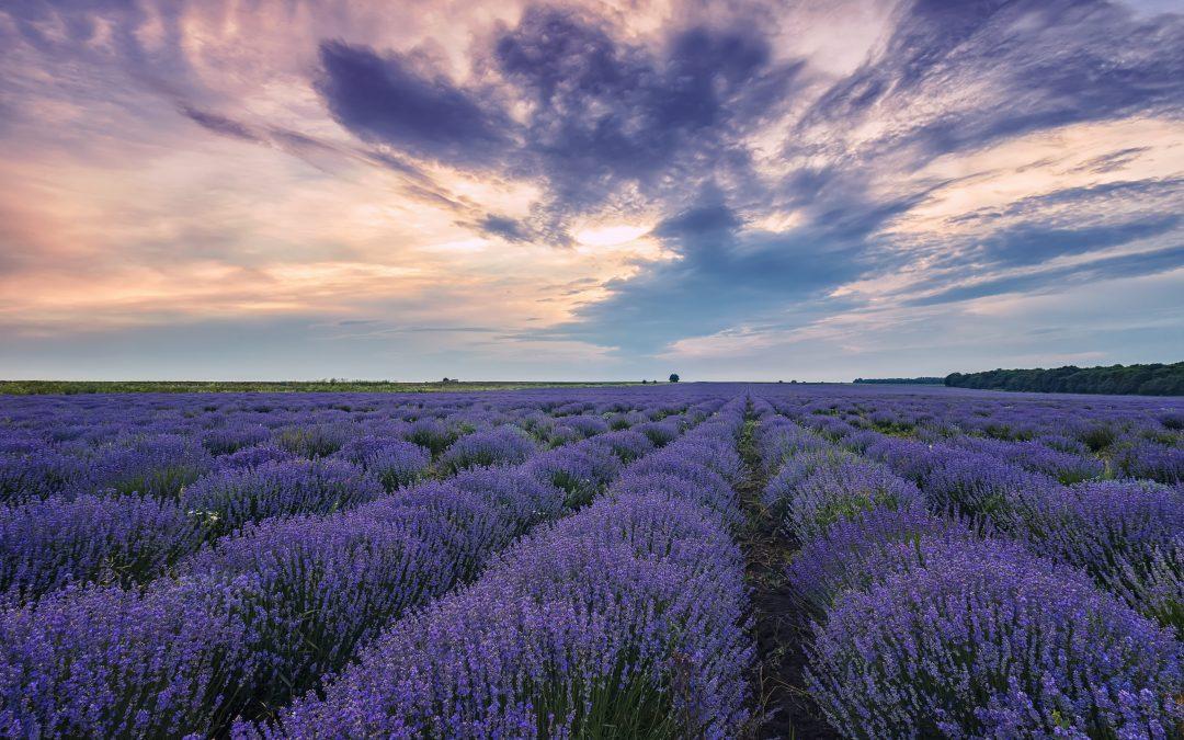 Lavendel bei Schlafproblemen?